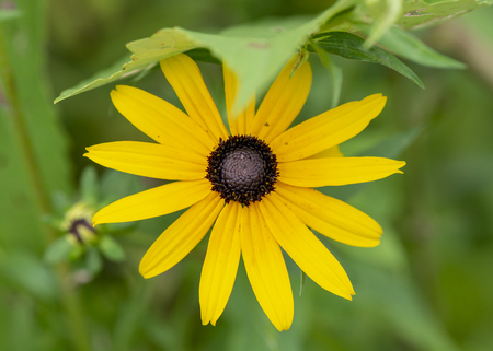 A black-eyed susan flower with bright yellow petals.