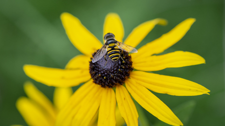 A small yellow and black striped bee lands in the center of a black-eyed susan flower.