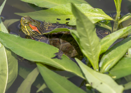 A yellow-bellied slider turtle pokes its head between the leaves of a Virginia marsh.
