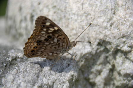 A brown and white spotted Hackberry Emperor butterfly warms itself on a stone in the warm sunshine.