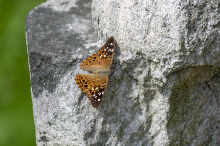 A brown and white spotted Hackberry Emperor butterfly suns itself on a rock in the summer sunshine. Reklamní fotografie
