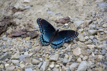 A beautiful Red-spotted Purple butterfly lands on a path of gravel and stone.
