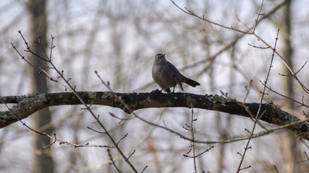 A small grey bird sits on a bare branch in a wintertime forest.
