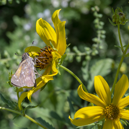 A small skipper butterfly probes its tongue in a yellow flower in the summer sunshine.