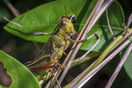 A large green and black grasshopper clings to a leafy green plant.