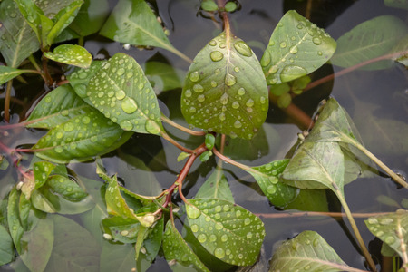 Drops of moisture cling to the green leafy branches of a water plant in a swampy marshland.