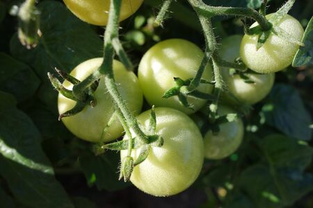 Young green tomatoes on the vine in the bright sunlight Reklamní fotografie