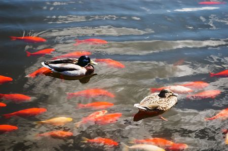 ducks and carps are swimming in the pond