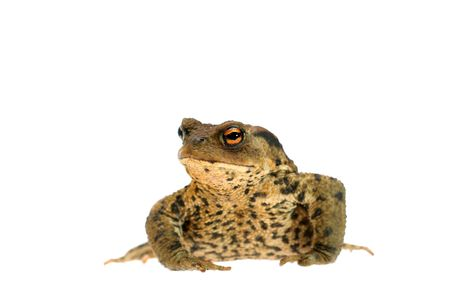 a toad on white background Stock Photo