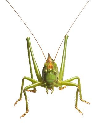 perfectly: a green grasshopper is on white background Stock Photo
