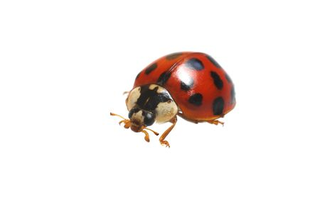 ladybug is on white background Stock Photo