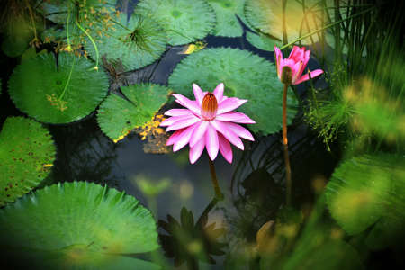 Lotus, Water lily photo