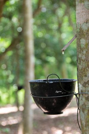 tapping: albero della gomma gomma di spillatura Archivio Fotografico