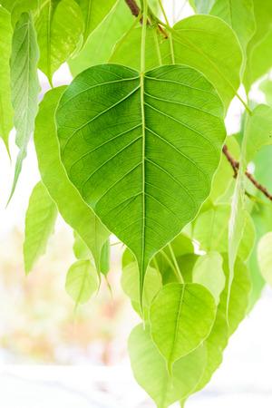 Bodhi or Peepal Leaf from the Bodhi tree photo