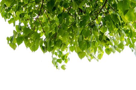 peepal tree:  Bodhi or Peepal Leaf from the Bodhi tree Stock Photo