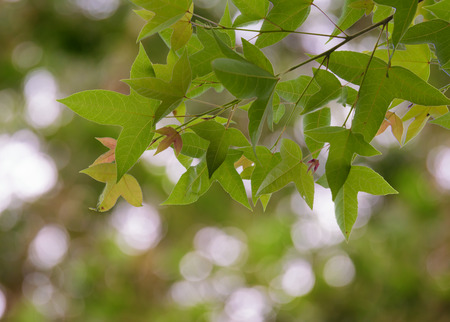 acer: Green  maple leaf isolated Acer calcaratum Gagnep