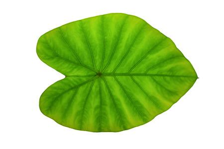 esculenta: Colocasia esculenta Plant green leaf