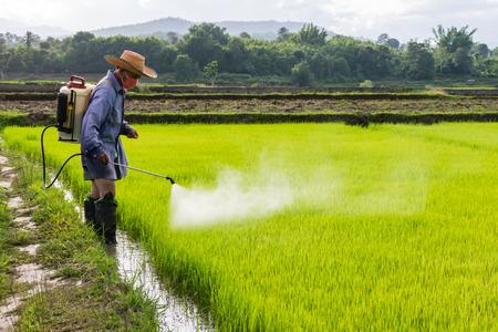 farmer spraying pesticide in paddy field.
