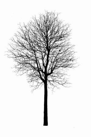 Dead tree silhouette.  old dry oak crown without leafs isolated on white photo