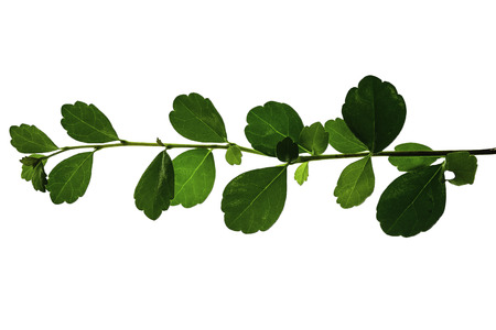 green leaves isolated on white background  Stock fotó