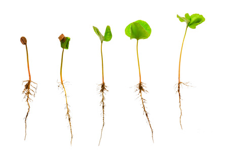 Coffee sapling or seedling with visible root against a white background photo