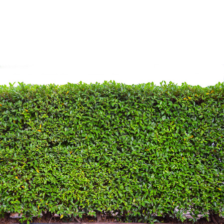 green hedge or Green Leaves Wall on isolated  Stock Photo