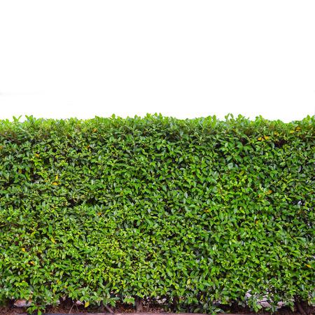 Seto verde o verde deja la pared en aislados Foto de archivo - 30811057