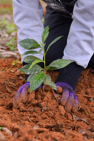 Hands of farmers to plant coffee seedlings in plantations. photo