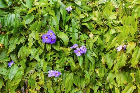 toxins: Clockvine, Blue Trumphet Vine (Thumbergia laurifolia Lindl.) ,thai  herbal is a good option for you to help toxins from the body. Stock Photo