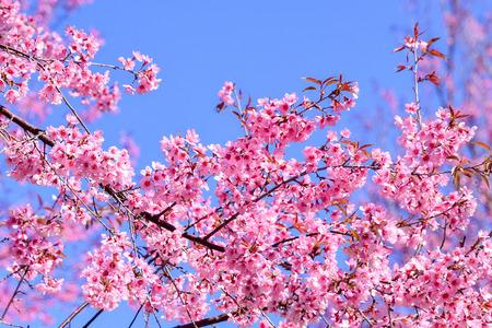 flor de sakura: Hermosa rosa Sakura flor, flor en fondo del cielo azul (profundidad de campo) Foto de archivo