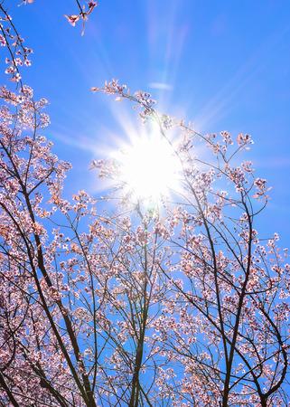 flor de sakura: Hermosa rosa Sakura flor, flor en el cielo azul con la flama del sol (profundidad de campo)