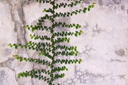 creeping fig: Green Creeper Plant growing on cement wall