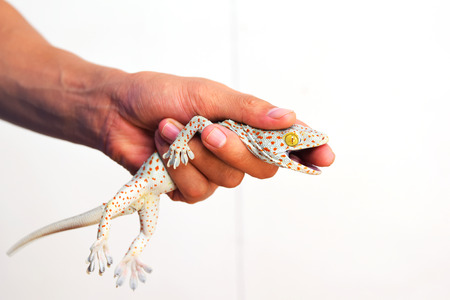 bugaboo: Geckos bite the hand, while holding the lizard out of the house. Stock Photo