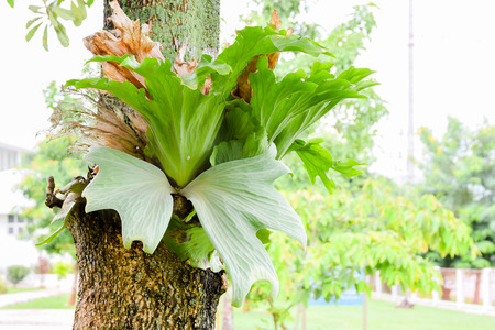 staghorn fern: Crown Staghorn, Indian Staghorn Fern,Disk Staghorn, Platycerium coronarium (J.G. Koen.ex. Muell) Desv. on tree Stock Photo