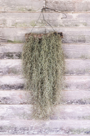 tillandsia: Fruticose lichen Tillandsia usneoides , Spanish Moss Stock Photo
