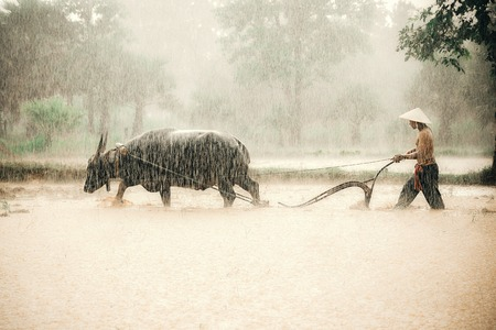 water buffalo: Farmers in the countryside in asia, Are plowing soil for rice cultivation with water buffalo in rainy season