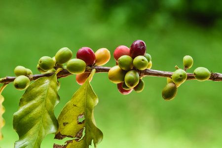 coffee cherry mix ripe red and unripe green on Coffea Stock Photo