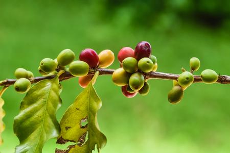 coffea: coffee cherry mix ripe red and unripe green on Coffea Stock Photo