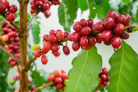 Cherry coffee beans on the branch of coffee plant before harvesting. Closeup shot with shallow DOF Stock Photo