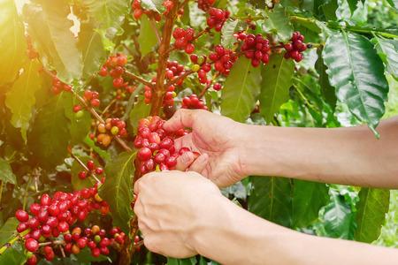Cherry coffee beans hands harvesting ,arabica coffee berries harvesting Stock Photo