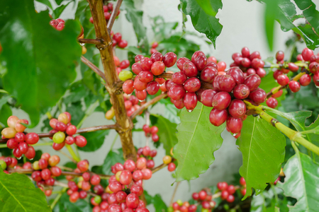 Cherry coffee beans on the branch of coffee plant before harvesting. Closeup shot with shallow DOF Banque d'images