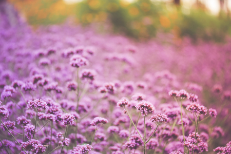 Blurred of Verbena Bonariensis is a perennial plant that flowers in late summer