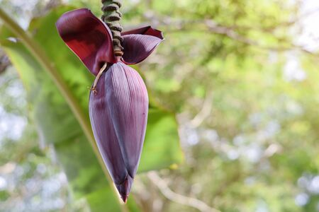 Banana Flower blossom On Banana Tree refers to the large, dark red to purple magenta-like blossom that grows on the end of a banana bunch 版權商用圖片