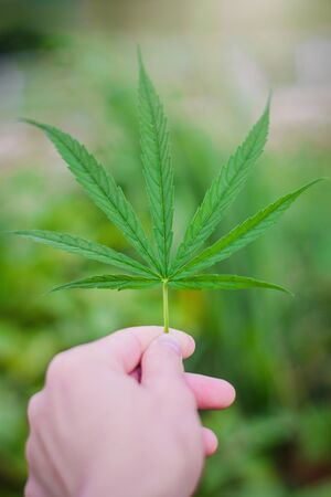 Marijuana leaf plant on hand in home garden close up,Some people Marijuana use it herbal to relieve symptoms or treat various diseases. but some people marijuana is an addictive drug