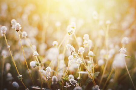 Grass flower, Close up soft focus a little wild flowers grass in sunrise and sunset background warm vintage tone photo 版權商用圖片