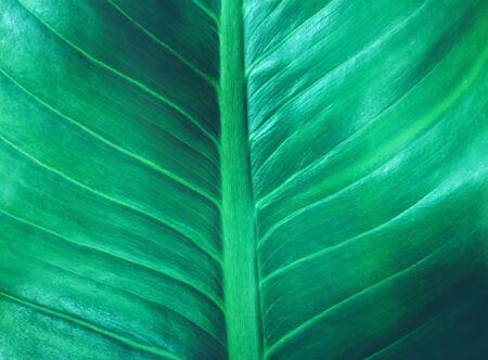 tropical leaf dark green foliage texture the nature background 版權商用圖片