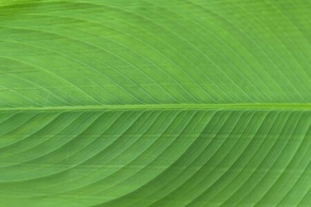 Closeup Of Green Banana Leaf Texture Abstract Background