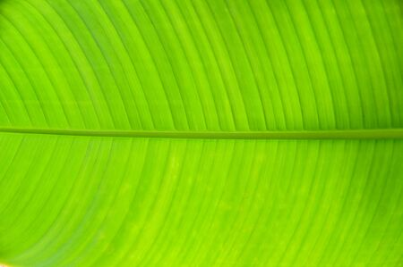 Closeup Of Green Banana Leaf Texture Abstract Nature Background