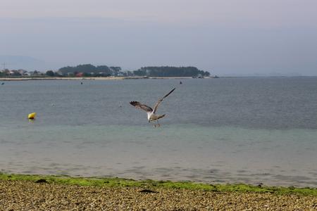 Seagull hunting in flight.