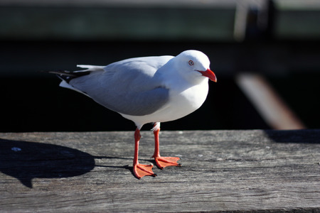 A lone seagull standing on a grey wooden dock Stock Photo